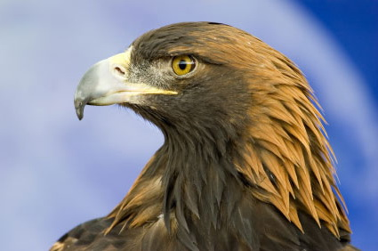 Associated image for entry 'Golden Eagle'