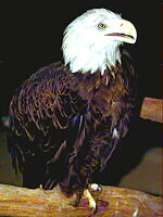 Associated image for entry 'bald eagle'